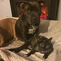 Domestic Shorthair Cat for adoption in Corona, California - Kiara (LOVES dogs!)
