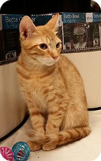 Domestic Shorthair Cat for adoption in Philadelphia, Pennsylvania - Holden