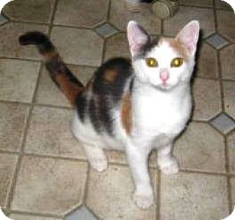 Calico Kitten for adoption in Kirkwood, Delaware - Precious