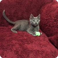 Russian Blue Kitten for adoption in Ellicott City, Maryland - .Ash