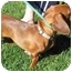 Photo 1 - Dachshund Dog for adoption in Garden Grove, California - Charlotte