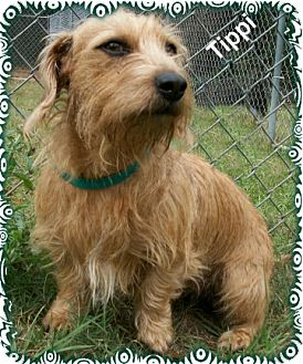 tippi adopted dog ozark al wirehaired fox terrier