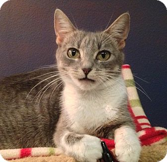 Domestic Shorthair Cat for adoption in Foothill Ranch, California - Missy