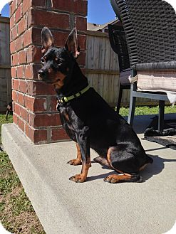 Miniature Pinscher Dog for adoption in Nashville, Tennessee - Brutus
