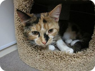 Calico Kitten for adoption in Warminster, Pennsylvania - Jasmine