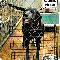 Adopt A Pet :: Velvet - McKinney, TX
