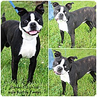 Adopt A Pet :: Rambo - Evansville, IN