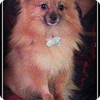 Adopt A Pet :: Laki - Elmhurst, IL