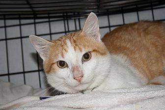 Domestic Shorthair Cat for adoption in Perryville, Missouri - Posse
