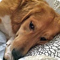 Adopt A Pet :: Millie in NY - Beacon, NY