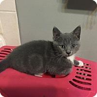 Adopt A Pet :: Gilly - Millersville, MD