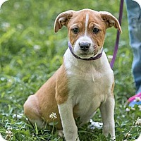 Adopt A Pet :: Brittney - Harrisonburg, VA