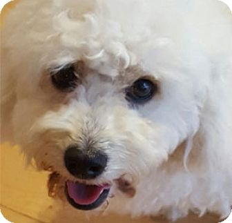 Poodle (Miniature) Dog for adoption in West LA, California - Molly
