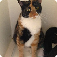 Calico Cat for adoption in Putnam Hall, Florida - Cali
