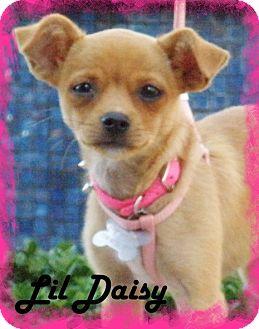 Pug/Pomeranian Mix Puppy for adoption in Anaheim Hills, California - Lil Daisy