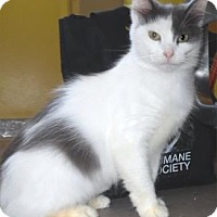 Domestic Mediumhair Cat for adoption in Waupaca, Wisconsin - Smokey