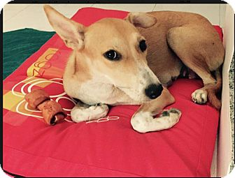 Saluki Mix Dog for adoption in Alexandria, Virginia - Madison
