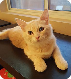Domestic Longhair Kitten for adoption in Mesa, Arizona - Sammy