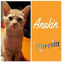 Adopt A Pet :: Anakin (Bonded with Felix) - Grand Blanc, MI