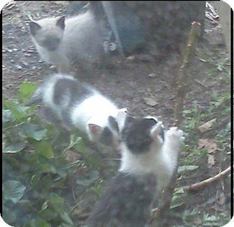 Domestic Shorthair Kitten for adoption in McArthur, Ohio - kitties