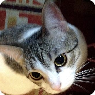Domestic Shorthair Cat for adoption in Toronto, Ontario - Peace