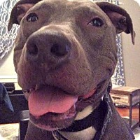 American Pit Bull Terrier Mix Dog for adoption in Cranston, Rhode Island - CHANCE
