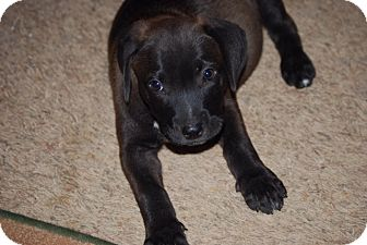 Labrador Retriever Mix Puppy for adoption in East Windsor, Connecticut - Ruby-ADOPTION PENDING