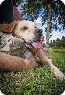 Golden Retriever Dog for adoption in Naples, Florida - Layla 717