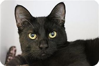 Domestic Shorthair Cat for adoption in Lincoln, California - Fantasy