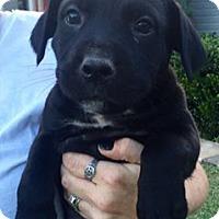 Adopt A Pet :: Harley (Juliet) - Wichita Falls, TX