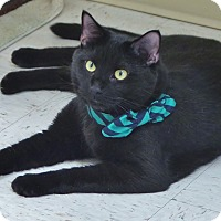Domestic Shorthair Cat for adoption in Chambersburg, Pennsylvania - Lucifer