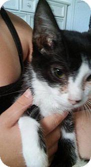 Domestic Shorthair Kitten for adoption in Locust, North Carolina - Smokey