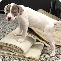 Adopt A Pet :: Santana - Middletown, OH