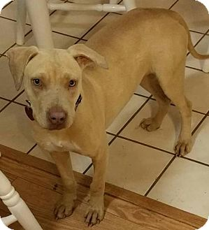 Labrador Retriever/American Pit Bull Terrier Mix Dog for adoption in Von Ormy, Texas - Nina