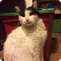 Domestic Longhair Cat for adoption in St. Louis, Missouri - Harold