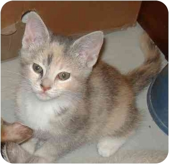Calico Kitten for adoption in Harriman, NY, New York - Lily
