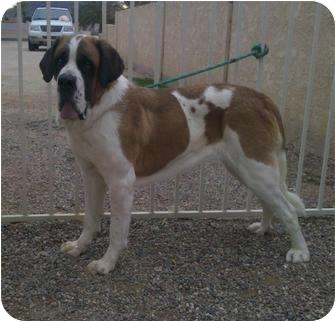 St. Bernard Dog for adoption in Glendale, Arizona - ALICE