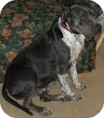 American Staffordshire Terrier Mix Dog for adoption in Justin, Texas - Scarlett