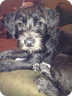 Izzy Fka Jayden Adopted Adopted Dog Detroit Mi Schnauzer Miniature American Pit Bull