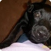 Adopt A Pet :: Blackie - Justin, TX