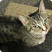 Adopt A Pet :: Hazel Nut - N. Billerica, MA