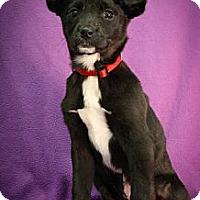 Adopt A Pet :: Ski - Broomfield, CO