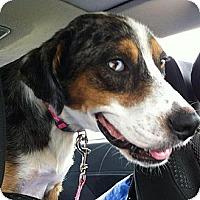 Adopt A Pet :: Blue - Richmond, VA