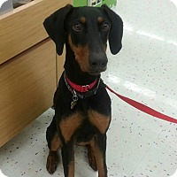 Adopt A Pet :: Pressley - Fort Worth, TX