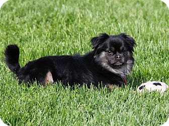 Pekingese Mix Dog for adoption in Richmond, Virginia - Monkey
