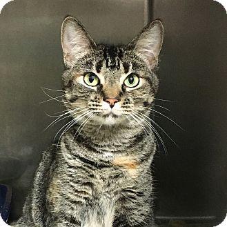 Domestic Shorthair Cat for adoption in Stockton, California - Cathy