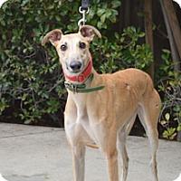 Adopt A Pet :: Sib - Walnut Creek, CA