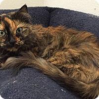 Domestic Longhair Cat for adoption in Colorado Springs, Colorado - Genova