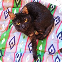 Adopt A Pet :: Sekhmet - New York, NY
