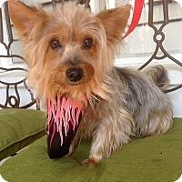 Adopt A Pet :: Cagney (BH) - Santa Ana, CA